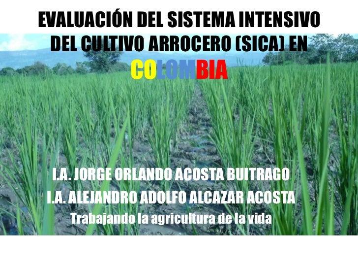 EVALUACIÓN DEL SISTEMA INTENSIVO DEL CULTIVO ARROCERO (SICA) EN              COLOMBIA  I.A. JORGE ORLANDO ACOSTA BUITRAGO ...
