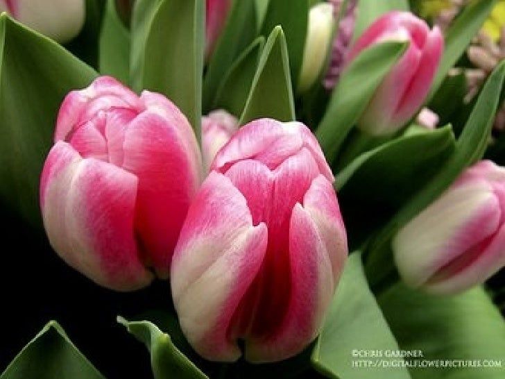 Colourful Tulips For You...