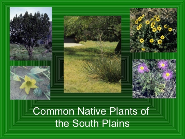 Common native plants of the south plains