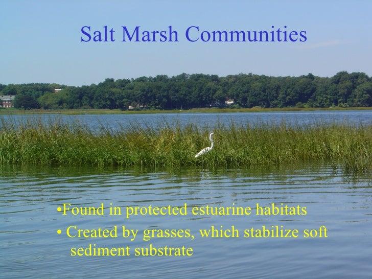 Salt Marsh Communities <ul><li>• Found in protected estuarine habitats </li></ul><ul><li>•  Created by grasses, which stab...
