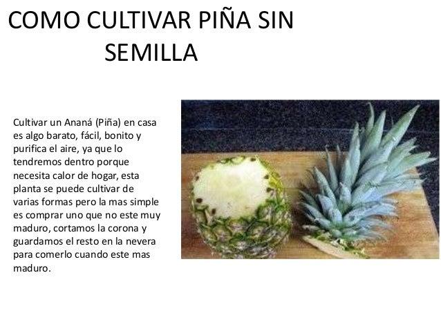 COMO CULTIVAR PIÑA SIN SEMILLA Cultivar un Ananá (Piña) en casa es algo barato, fácil, bonito y purifica el aire, ya que l...