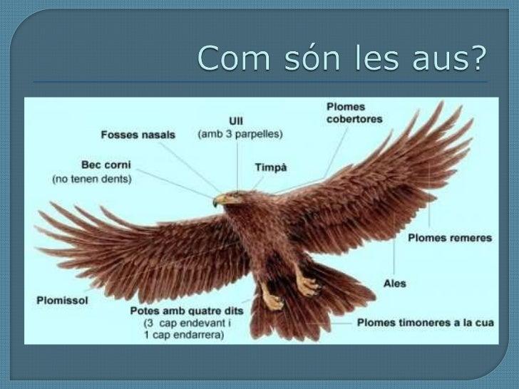 Com són les aus?<br />