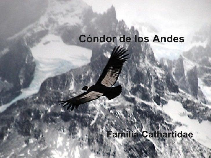 Cóndor de los Andes Familia Cathartidae