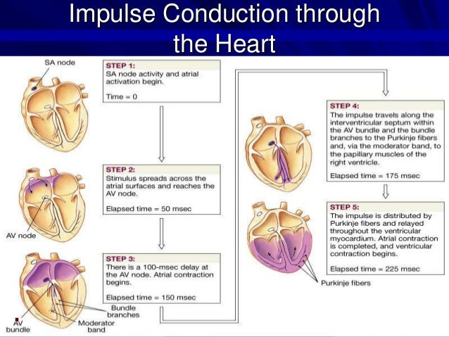 cardiac conduction system The cardiac cycle and conduction system represents the mechanical events of one heartbeat at rest one complete cycle lasts 08 seconds and is repeated approximately 72 times per minute.