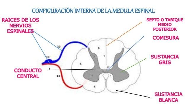 CONFIGURACIÓNINTERNA DE LA MEDULA ESPINAL COMISURA SEPTO O TABIQUE MEDIO POSTERIOR CONDUCTO CENTRAL SUSTANCIA GRIS SUSTANC...