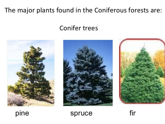 Coniferous Forests Teach