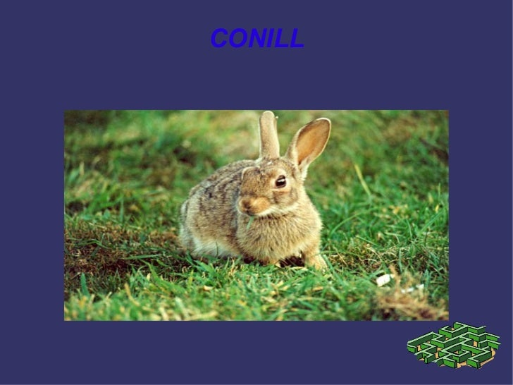 El conill (Paula)