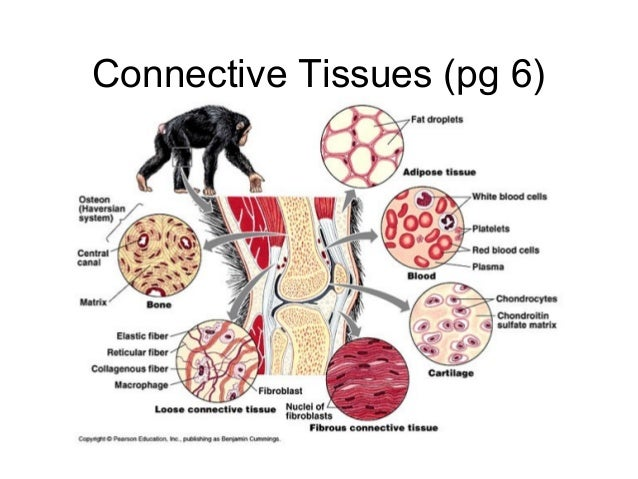 Connective Tissues (pg 6)