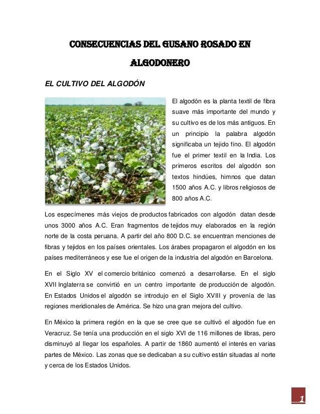 CONSECUENCIAS DEL GUSANO ROSADO EN ALGODONERO EL CULTIVO DEL ALGODÓN El algodón es la planta textil de fibra suave más imp...