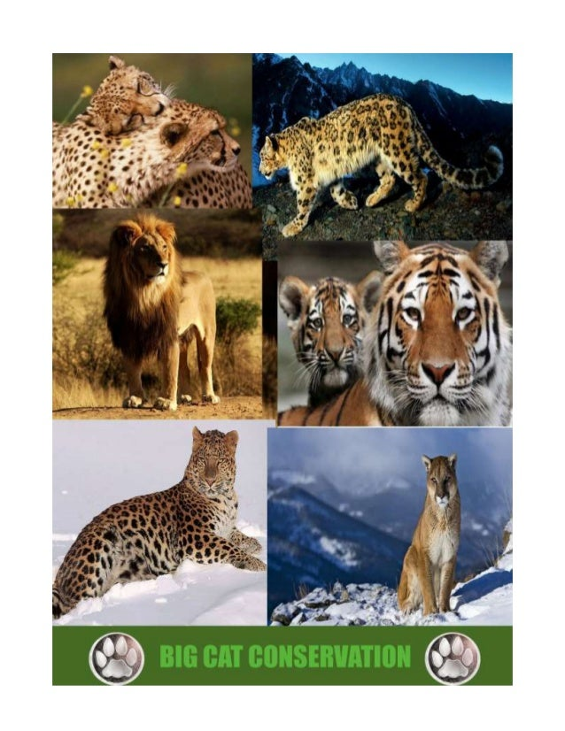 BIG CAT CONSERVATION Protect land where big cats live (habitats) Make laws against poaching, poisoning, trapping, inbreedi...