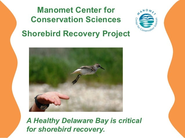 Manomet Center for Conservation Sciences Shorebird Recovery Project  A Healthy Delaware Bay is critical for shorebird reco...