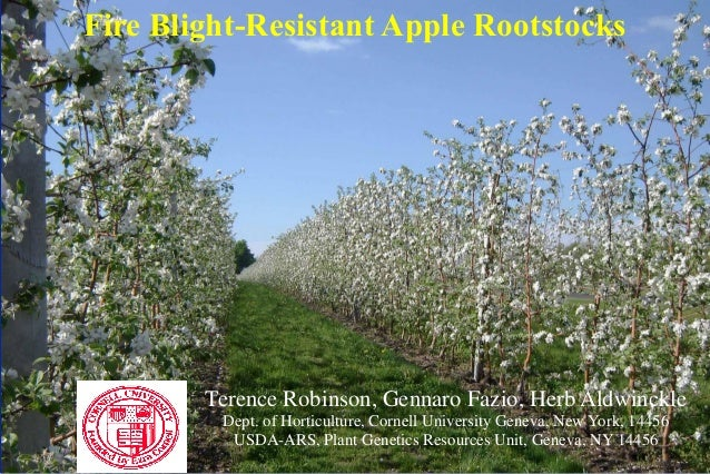 Fire Blight-Resistant Apple Rootstocks        Terence Robinson, Gennaro Fazio, Herb Aldwinckle         Dept. of Horticultu...