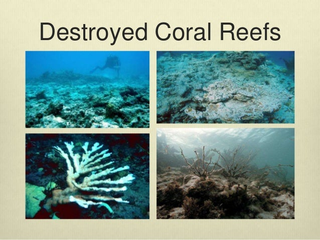 destruction of coral reefs essay Coral reefs thrive in clear water hence, introduction of unnecessary silt into the reefs and pollution leads to destruction of coral reefs pollution due to sewage waste released from the surrounding towns causes eutrophication.