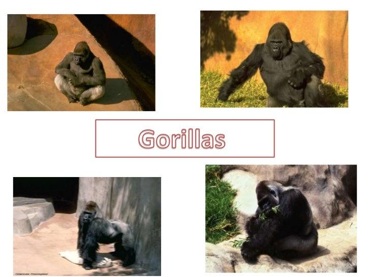Gorillas       <br />