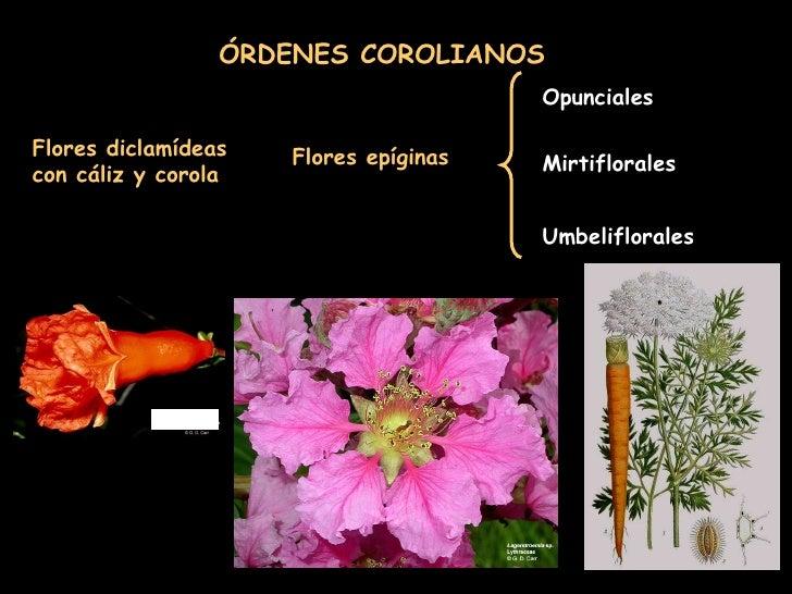 Flores diclamídeas con cáliz y corola ÓRDENES COROLIANOS Flores epíginas Opunciales Mirtiflorales Umbeliflorales