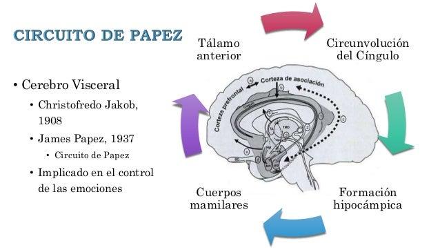 Circuito De Papez : Cingulate cortex