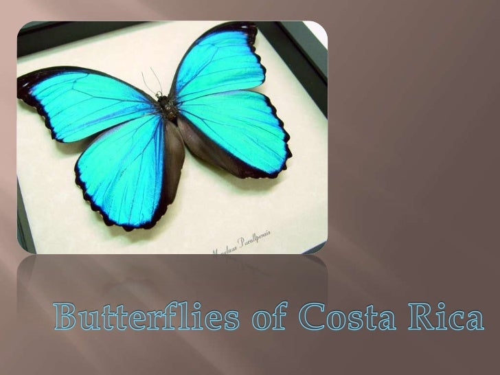 1,251 species of butterfly can be found in Costa Rica That's about 10% of the world's butterfly speciesOne reason for this...