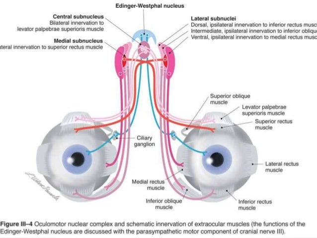 2013 04 Congenitally Absent Optic Chiasm Visual in addition Thalamus Anatomy Of Thalamus Thalamus Ppt in addition Pain Part 1 moreover Cards additionally Introduction To Sensation Perception And Attention 1614470. on brain sensory system