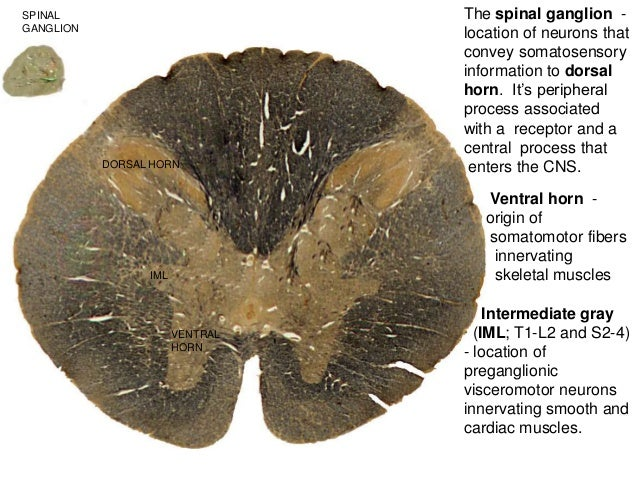DORSAL HORN IML VENTRAL HORN The spinal ganglion - location of neurons that convey somatosensory information to dorsal hor...