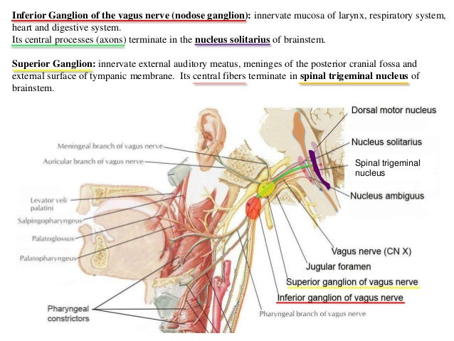 5685049 together with Hair Transplant Terms And Definitions additionally Cranial Nerves Overview 2013 together with Body cavities label together with Research Group Colour Pattern Formation. on dorsal and ventral regions
