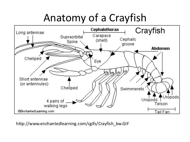 Luxury cray fish anatomy picture collection anatomy and physiology old fashioned crayfish anatomy worksheet ensign anatomy and ccuart Choice Image