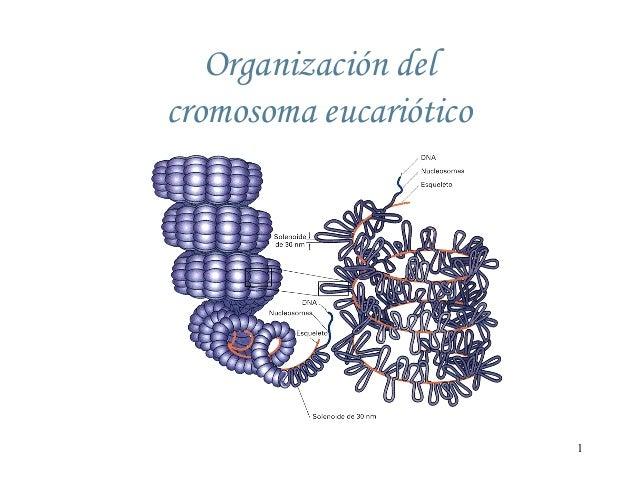 Organización del cromosoma eucariótico  1