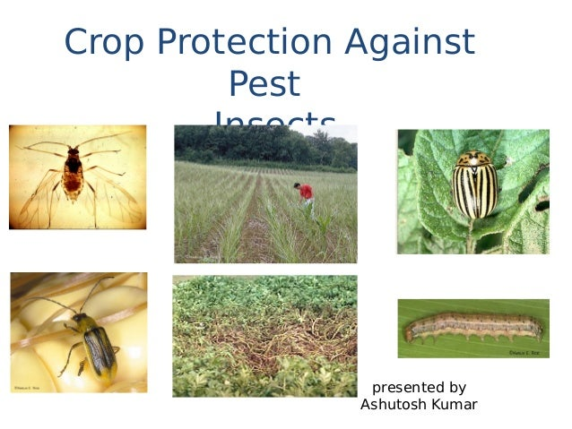 crop protection and pest control Companion planting and insect pest control joyce e parker, william e snyder the trap crop and protection target species and pest behavior the need to control pests in the trap crop can be avoided when dead-end traps are deployed.