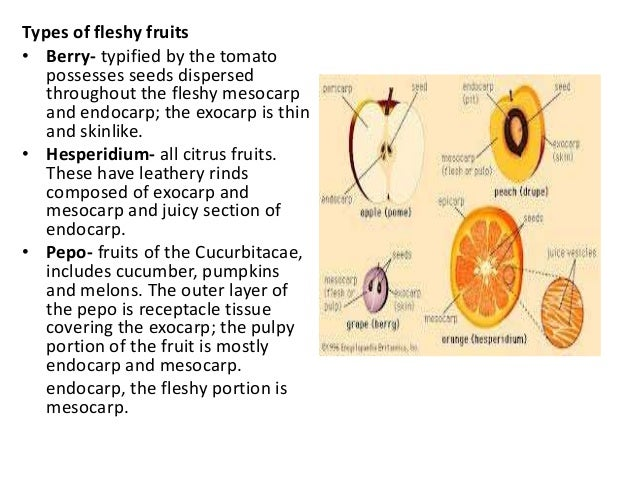 What is the difference between a monocot seed and a dicot seed and an example of each?