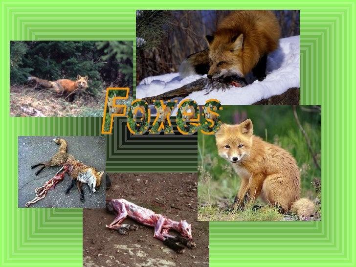Fox Hunting :)