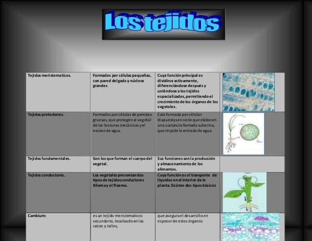 Tejidosmeristematicos. Formados por célulaspequeñas, con pared delgada y núcleos grandes. Cuya funciónprincipal es dividir...