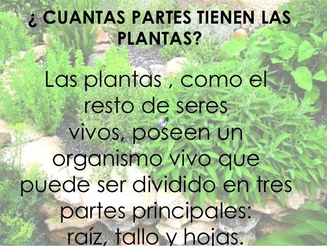 ¿ CUANTAS PARTES TIENEN LAS        PLANTAS?  Las plantas , como el       resto de seres     vivos, poseen un   organismo v...
