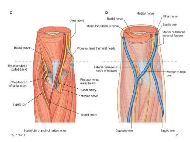 Median Nerve Brachial Artery 2102014 10Median Nerve Brachial Artery