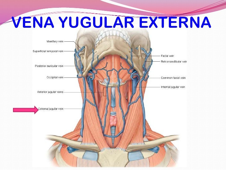Perfecto Anatomía De La Vena Yugular Externa Imagen - Anatomía de ...