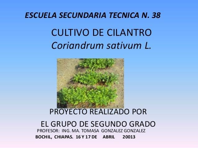ESCUELA SECUNDARIA TECNICA N. 38  CULTIVO DE CILANTRO Coriandrum sativum L.  PROYECTO REALIZADO POR EL GRUPO DE SEGUNDO GR...