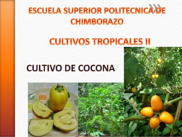 » La cocona Solanum sessiliflorum Dunal, es un cultivo que se incluye  dentro de las especies que se encuentran en estado ...