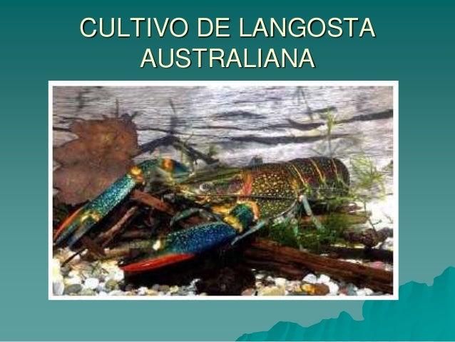 comercializacion de la langosta: