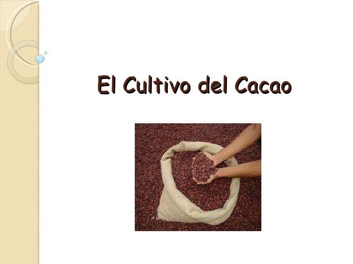 El Cultivo del Cacao