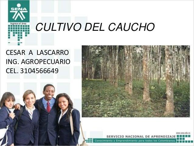 Ingrese el área  CULTIVO DEL CAUCHO  CESAR A LASCARRO ING. AGROPECUARIO CEL. 3104566649