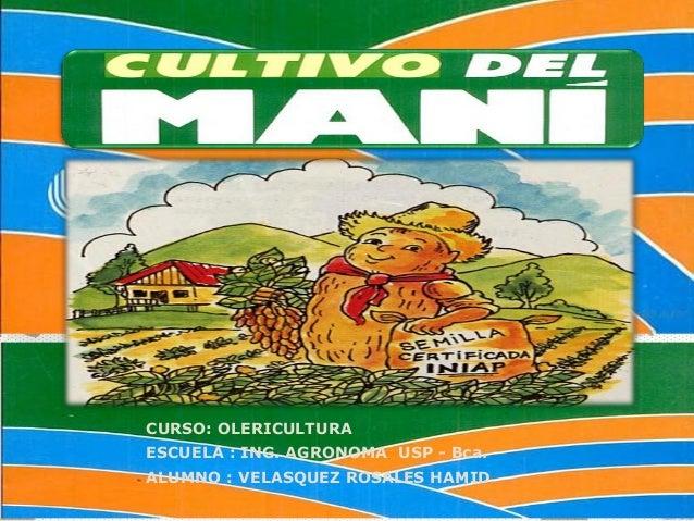CULTIVO DE MANI