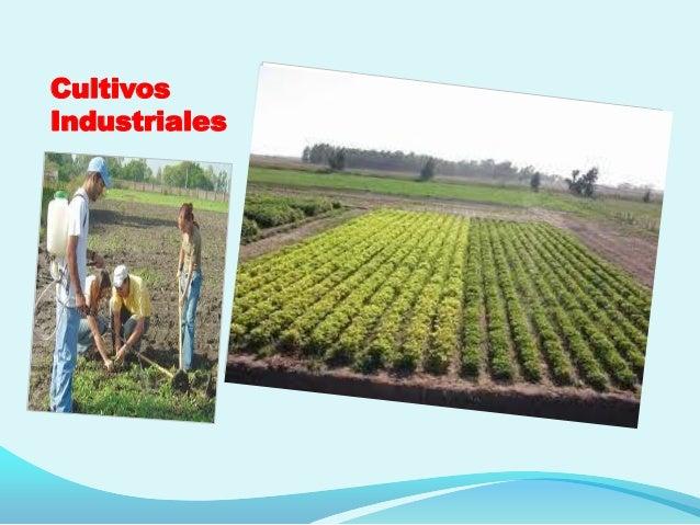 Cultivos Industriales