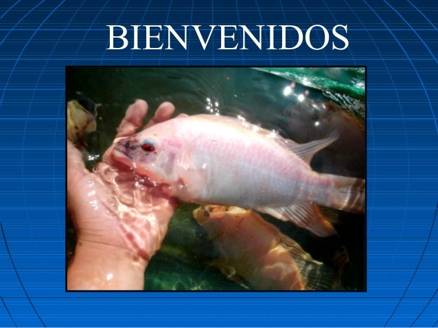 Curso de tilapia for Proyecto de tilapia en estanques