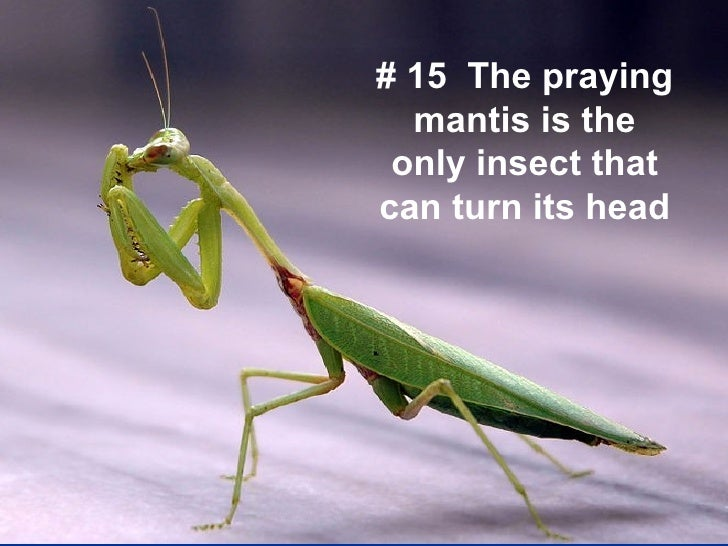 15 The praying mantis ...