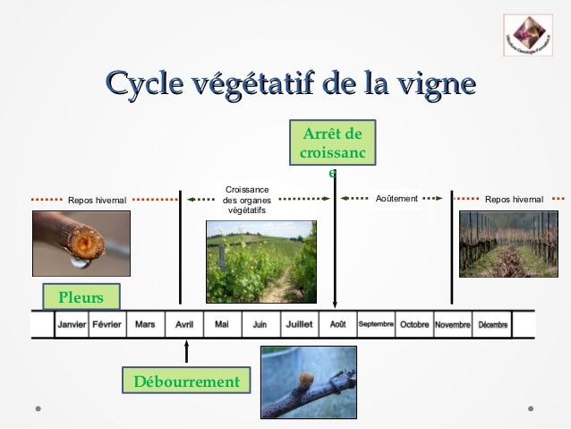 Cycle vegetatif - Taille de la vigne video ...