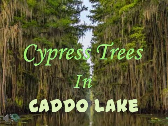 Cypress trees in caddo lake (v.m.)