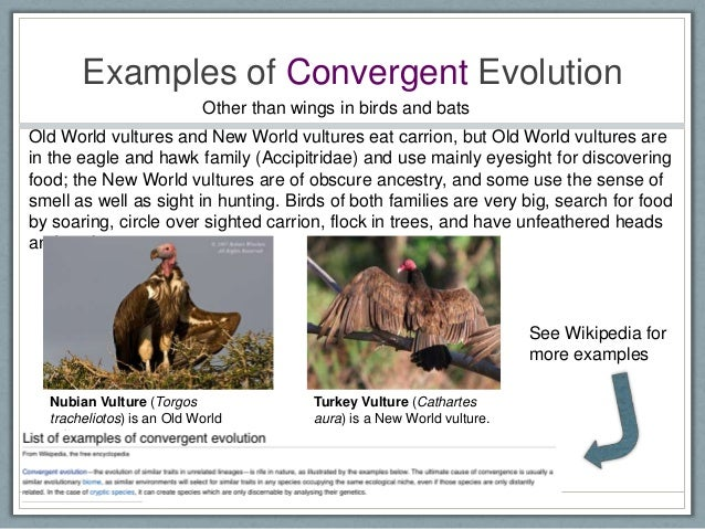 Convergent Evolution Example Examples of Convergent