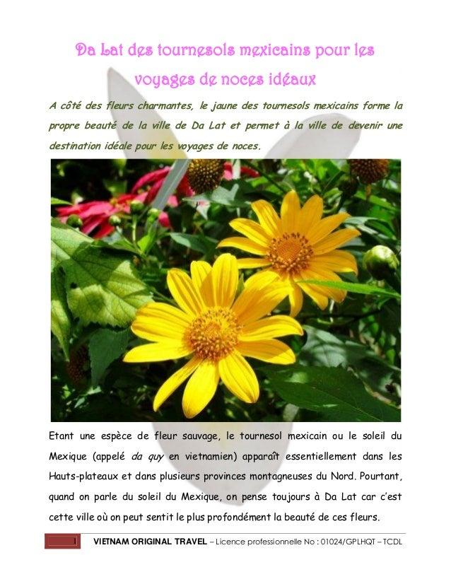 Da Lat des tournesols mexicains pour les voyages de noces idéaux A côté des fleurs charmantes, le jaune des tournesols mex...