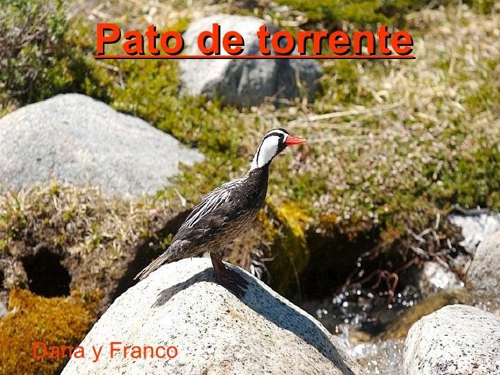 Pato de torrente   Dana y Franco