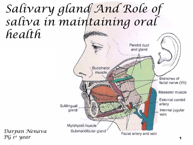 Salivary gland And Role of saliva in maintaining oral health  Darpan Nenava PG 1st year  1