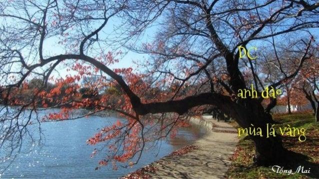 DC anh đào mùa lá vàng - Tống Mai