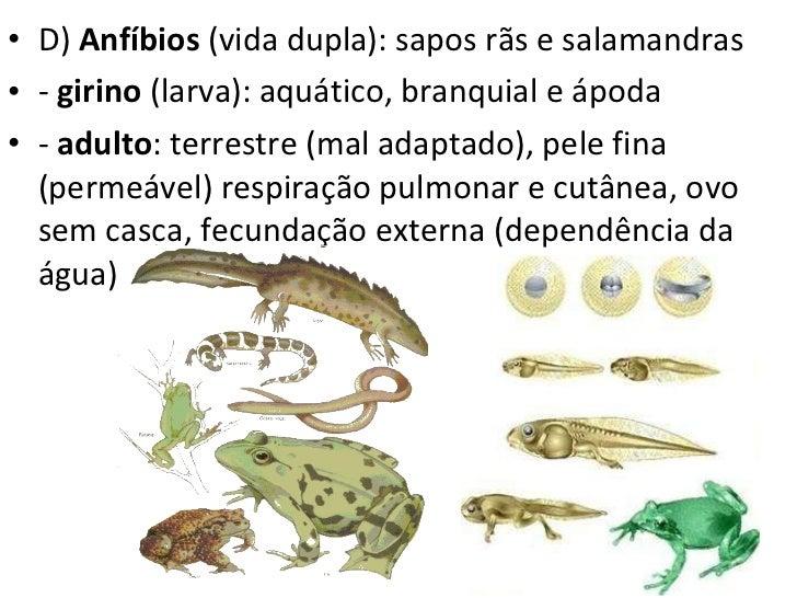 <ul><li>D)  Anfíbios  (vida dupla): sapos rãs e salamandras </li></ul><ul><li>-  girino  (larva): aquático, branquial e áp...